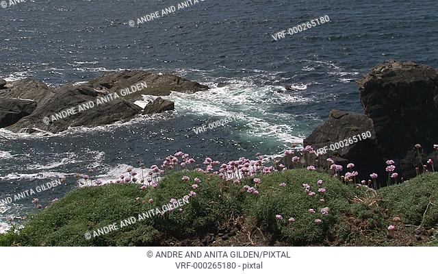 Sea Thrift (Armeria maritima) flowering, blowing in the wind with waves breaking on cliffs in background