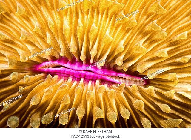 Mouth detail of a colourful and healthy Mushroom coral, Fungia fungites, that is growing on a tropical coral reef in the Philippines