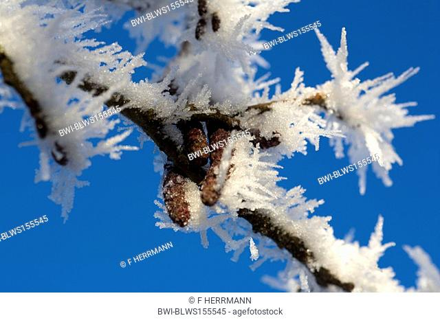 hoar frost on a branch in winter, Germany, Saxony, Vogtlaendische Schweiz, Vogtlaendische Schweiz