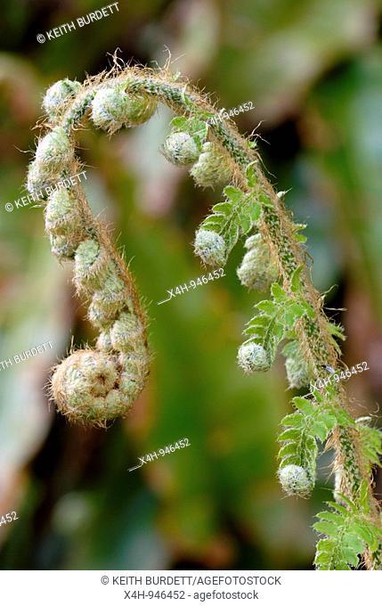 Soft Shield Fern, Polystichum setiferum, Wales