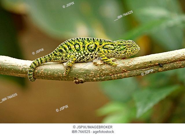 Jewelled Chameleon or Carpet Chameleon (Furcifer lateralis), Madagascar, Africa