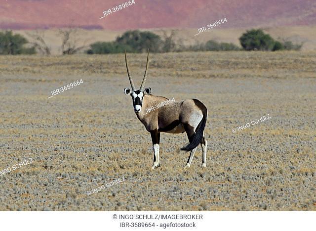 Gemsbok (Oryx gazella) in the Sossusvlei salt pan, Sossusvlei, Namib Desert, Namib Naukluft Park, Namibia