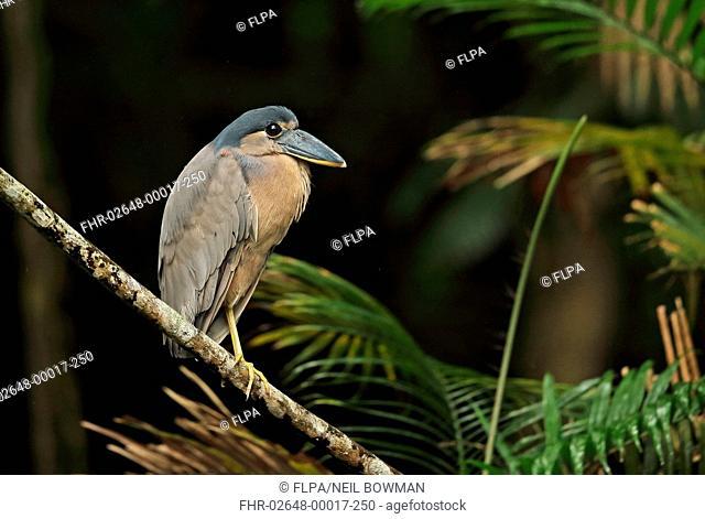 Boat-billed Heron (Cochlearius cochlearius ridgwayi) adult, standing on branch, Cuero-y-Saldo, Honduras, February