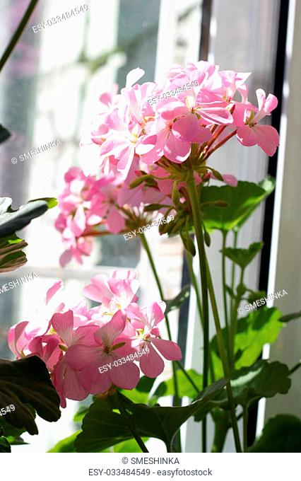 Blossoming Pelargonium, popular flowering houseplant, light pink