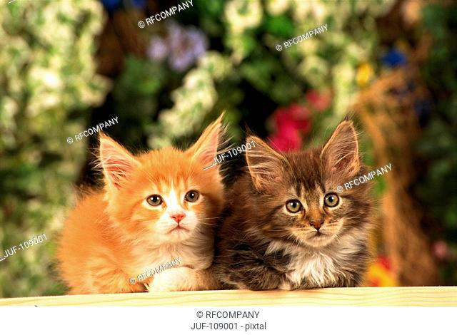 two Maine Coon kittens - lying - frontal