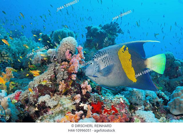 Yellowbar Angelfish, Pomacanthus maculosus, Sanganeb, Red Sea, Sudan