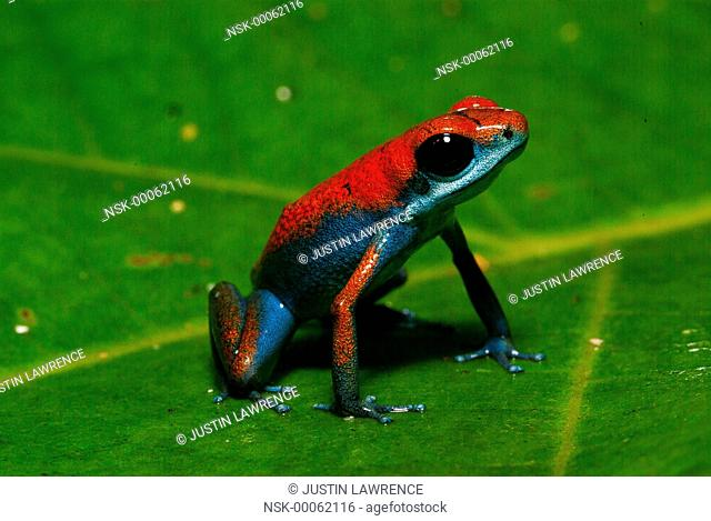 Escudo de Veraguas morph Strawberry Poison Frog (Oophaga pumilio) resting on a leaf, Panama