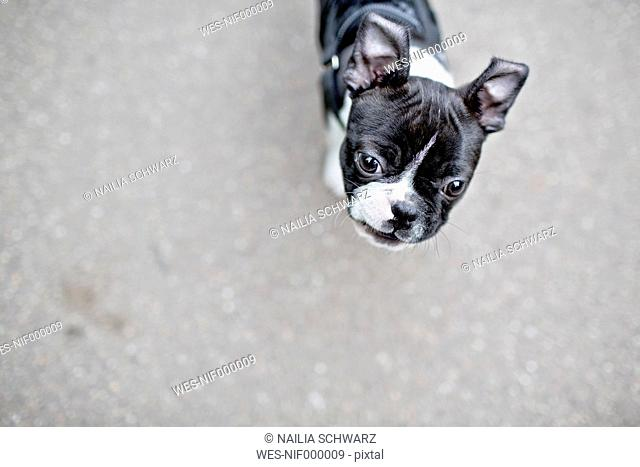 Germany, Rhineland-Palatinate, Boston Terrier, Puppy on road