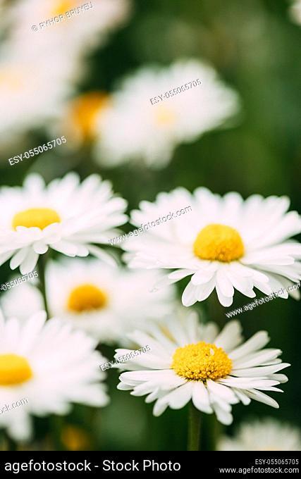 Blooming Wild Flowers Matricaria Chamomilla Or Matricaria Recutita Or Chamomile. Commonly Known As Italian Camomilla, German Chamomile, Hungarian Chamomile