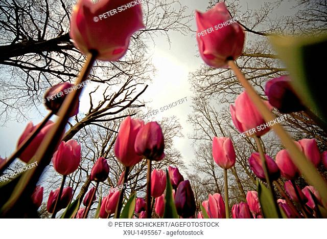 field with pink Tulips Tulipa seen from the ground, Keukenhof, Netherlands, Europe