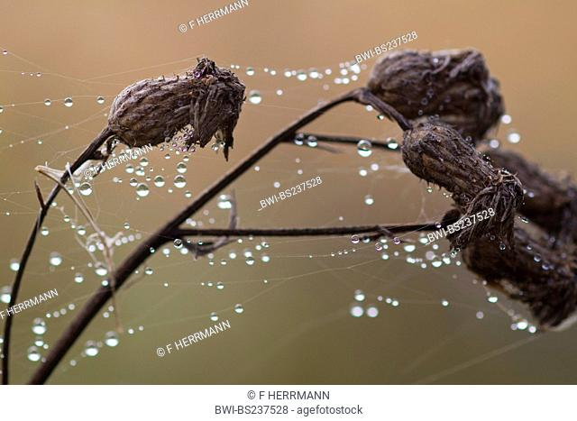 brown knapweed, brown-rayed knapweed Centaurea jacea, withered with spider webs and dew drops on the dry twigs, Germany, Saxony