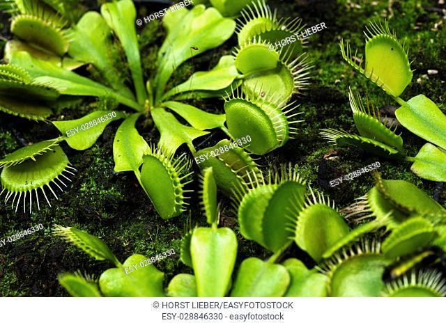 Venus flytrap, Dionaea muscipula-Botanical garden KIT Karlsruhe, Baden Wuerttemberg, Germany