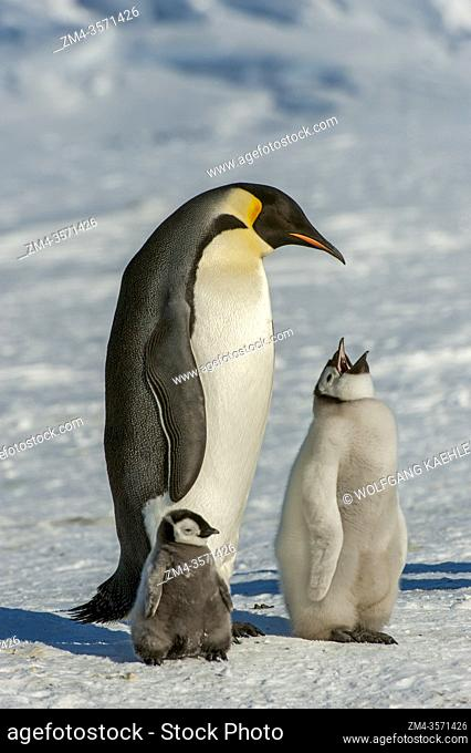 An adult Emperor penguin (Aptenodytes forsteri) with chick at the Emperor penguin colony on the sea ice at Snow Hill Island in the Weddell Sea in Antarctica
