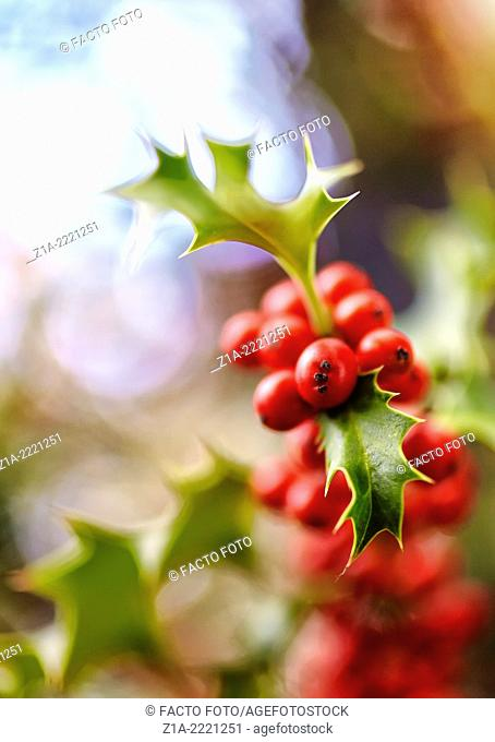 Holly tree at the Royal Botanical Garden. Madrid. Spain