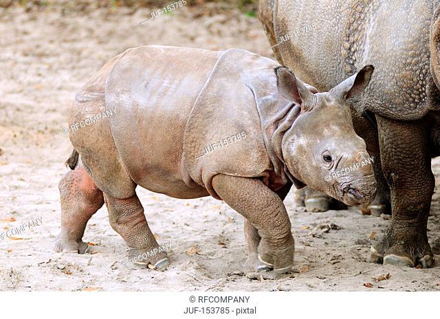 Indian Rhinoceros: cub next to mother / Rhinoceros unicornis