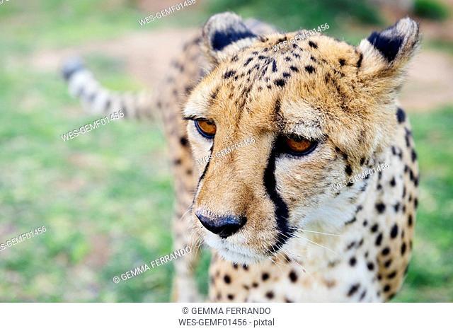 Namibia, Kamanjab, portrait of cheetah