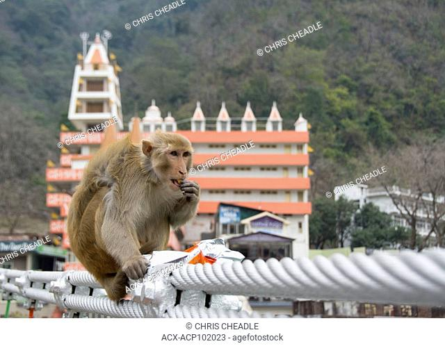 rhesus macaque (Macaca mulatta) at Muni Ki Reti, sometimes known as Lakshman Jhula, a bridge crossing the Ganges, Rishikesh, Tehri Garhwal district, Uttarakhand
