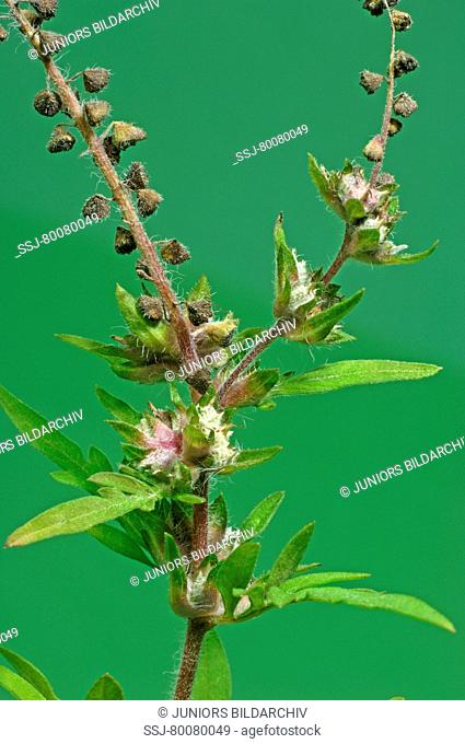 DEU, 2007: Annual Ragweed, Common Ragweed (Ambrosia artemisiifolia), stem with leaves and male and female flowers