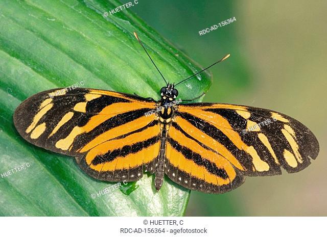 Isabellas Tiger Eueides isabella Isabella's Heliconian