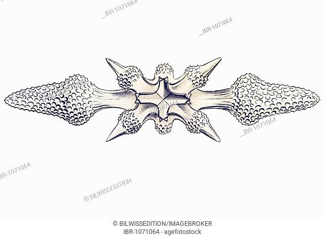 Historic illustration, tablet 21, title Acanthometra, marine protozoa, name Xiphacantha, 7/ Acantholonche favosa, view of pole spineless globe center