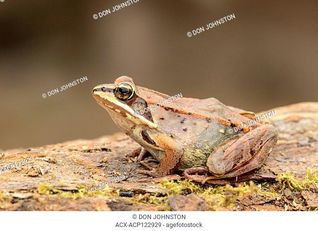 Wood frog (Lithobates sylvaticus or Rana sylvatica), Greater Sudbury, Ontario, Canada