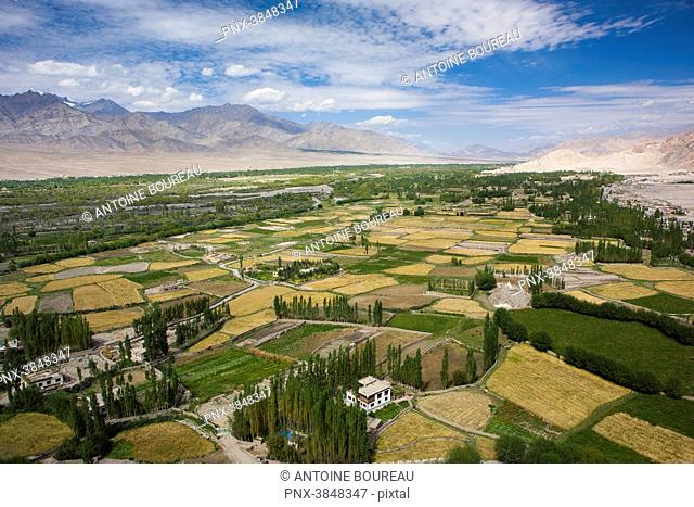 Barley fields in the Indus valley in Likir, Ladakh, India