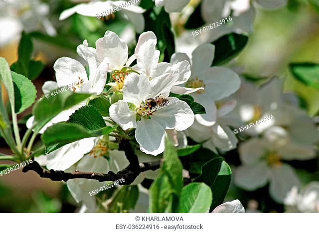 Flowering apple. Bee pollinates flower