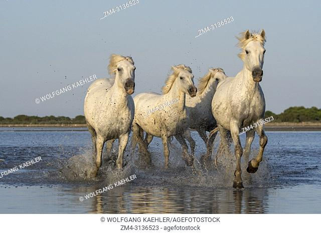 Camargue horses running towards the camera through the water of a lagoon in the Camargue in southern France