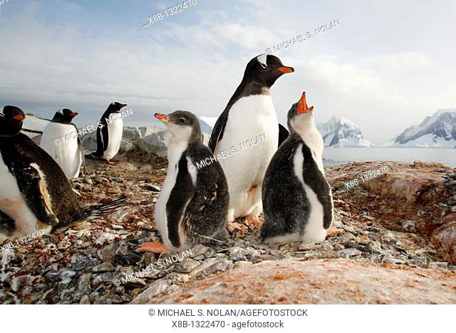 Gentoo penguin Pygoscelis papua parent with downy chicks on Petermann Island, near the Antarctic Peninsula