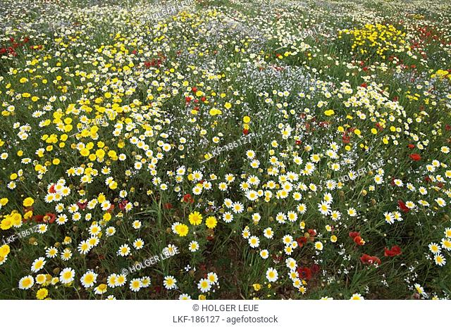 Glorious Wildflower Meadow, Near ses Salines, Mallorca, Balearic Islands, Spain