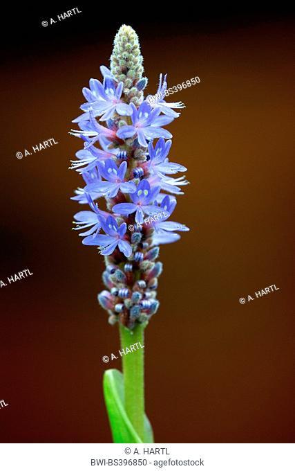 Pickerel Weed, Pickerelweed (Pontederia cordata), inflorescence, USA, Florida, Kissimmee