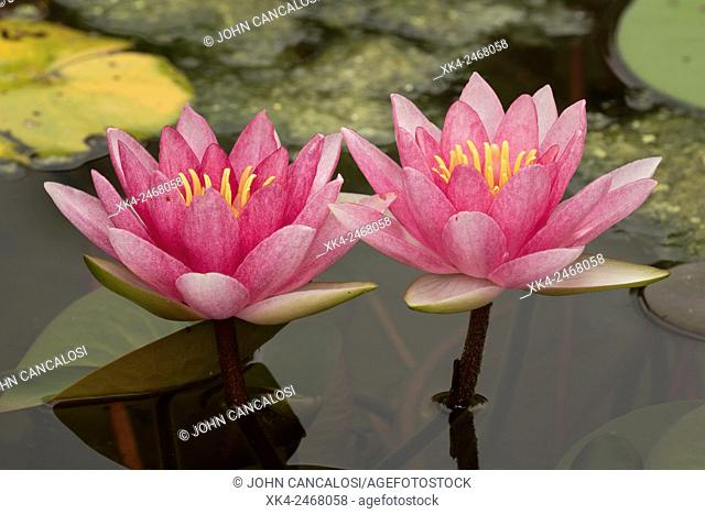 Hybrid lily, cultivar, Nymphaea spp., Washington, District of Columbia, USA