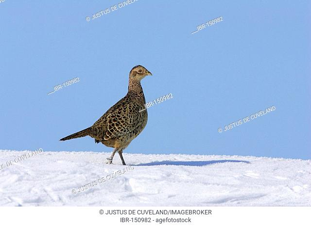 Female common pheasant in snow - pheasant-hen (Phasianus colchicus)