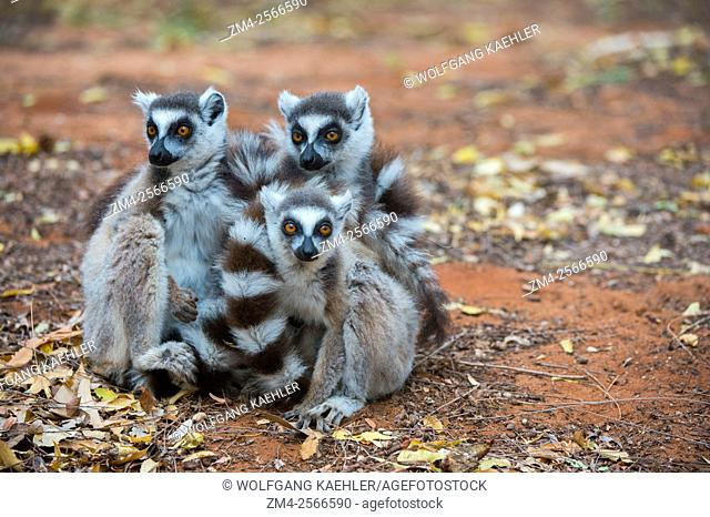 A group of Ring-tailed lemurs (Lemur catta) at Berenty Reserve in southern Madagascar