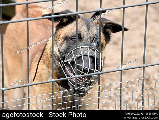 """20 February 2020, Schleswig-Holstein, Kiel: The mixed breed """"""""Kenya"""""""", classified as a """"""""problem dog"""""""", is kept in an enclosure in the animal shelter of the..."""