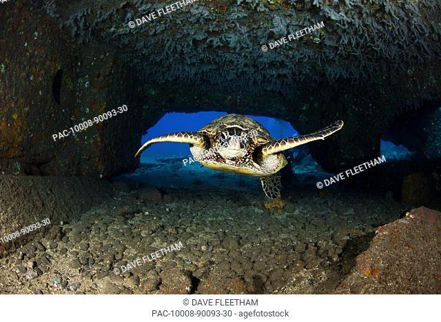 Hawaii, Maui, Lahaina, An endangered Green Sea Turtle Chelonia Mydas swims under tunnel created by the collapsed Mala Wharf