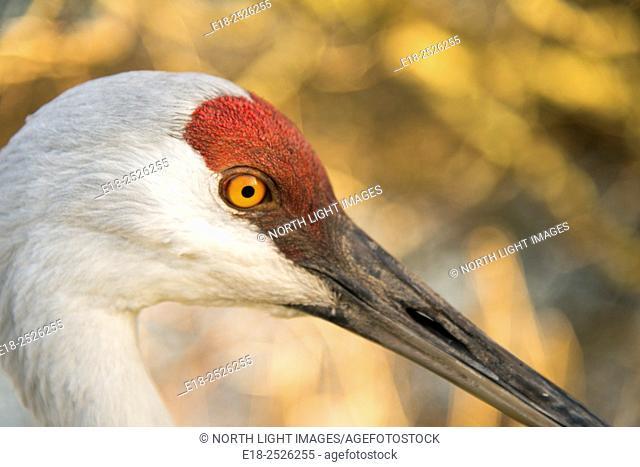 Canada, BC, Delta. A closeup profile portrait of a resident sandhill crane at Reiifel Bird Sanctuary. Scientific name: Grus canadensis