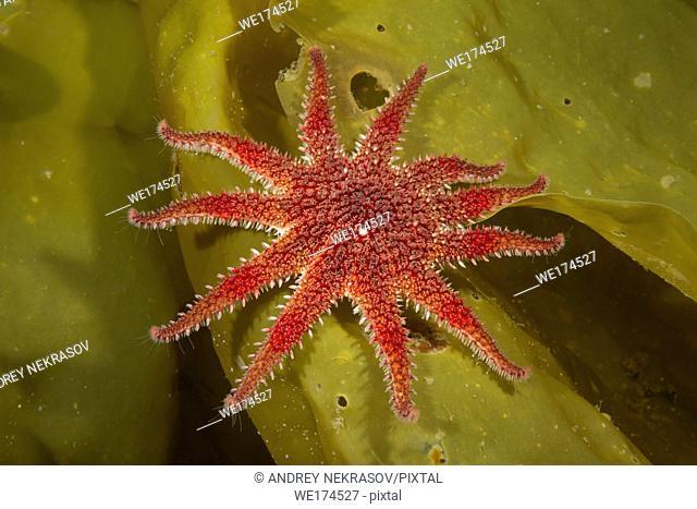 Snowflake Star or Common Sun Star (Crossaster papposus) on laminaria. Northern Atlantic, Norway, Europe