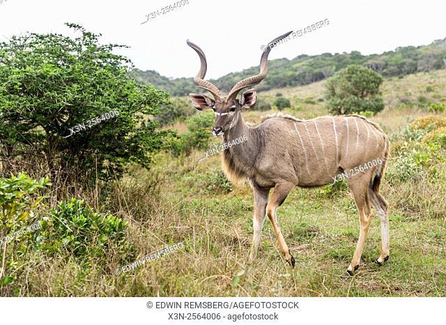 Greater Kudu (Tragelaphus strepsiceros) wandering in Saint Lucia, Kwazulu-Natal, South Africa - iSimangaliso Wetland Park
