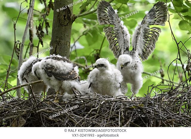 Sparrowhawk ( Accipiter nisus ), moulting grown up chicks in nest, training their skills and strength, wildlife, Europe