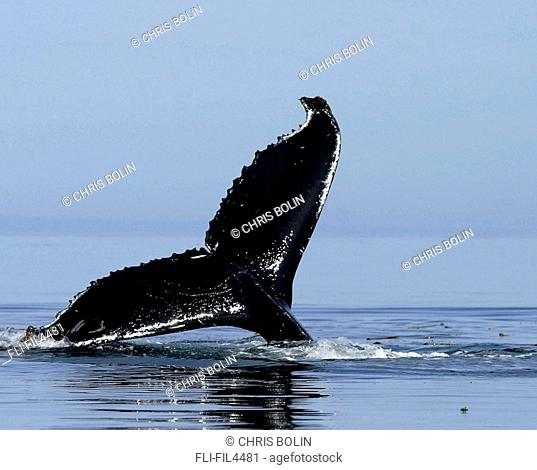 Tail of a Humpback Whale, Queen Charlotte Islands, British Columbia