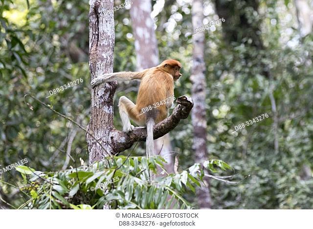 Asia, Indonesia, Borneo, Tanjung Puting National Park, Proboscis monkey or long-nosed monkey (Nasalis larvatus)