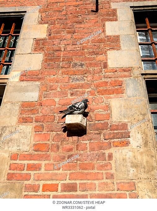 Pigeon rests on the wall of the restored Old Main Town Hall on Long Lane in Gdansk Poland