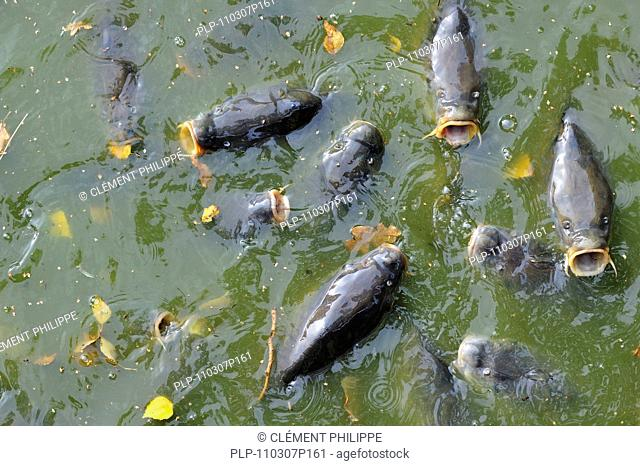 Shoal of Common carp Cyprinus carpio coming to surface for air in park pond, Belgium
