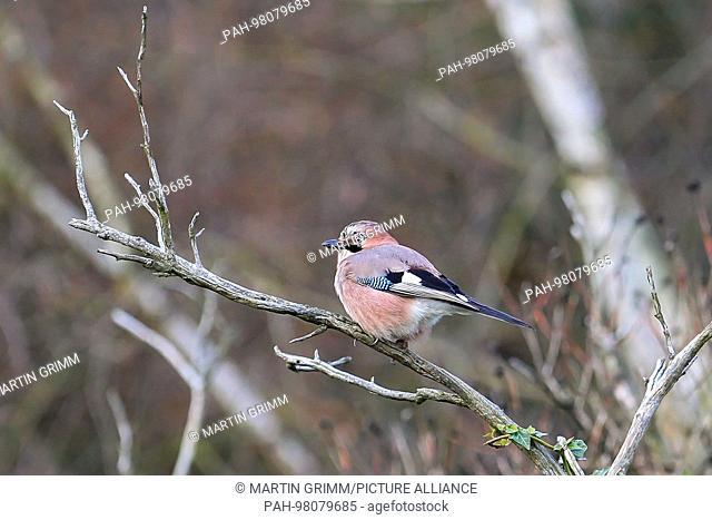Eurasian jay (Garrulus glandarius) sitting on branch, Hesse, Germany | usage worldwide. - /Hessen/Germany