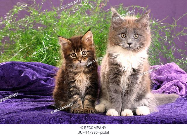 two maine coon kitten - sitting