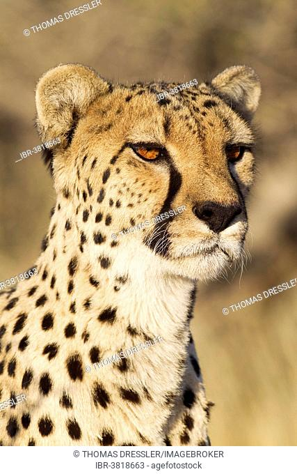 Cheetah (Acinonyx jubatus), female, portrait, captive, Namibia