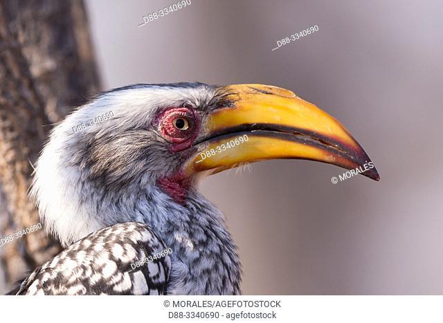 Africa, Southern Africa, Bostwana, Central Kalahari Game Reserve, Southern yellow-billed hornbill (Tockus leucomelas), on a tree