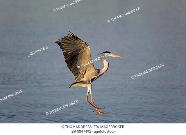Grey Heron (Ardea cinerea), about to land, Sunset Dam, Kruger National Park, South Africa