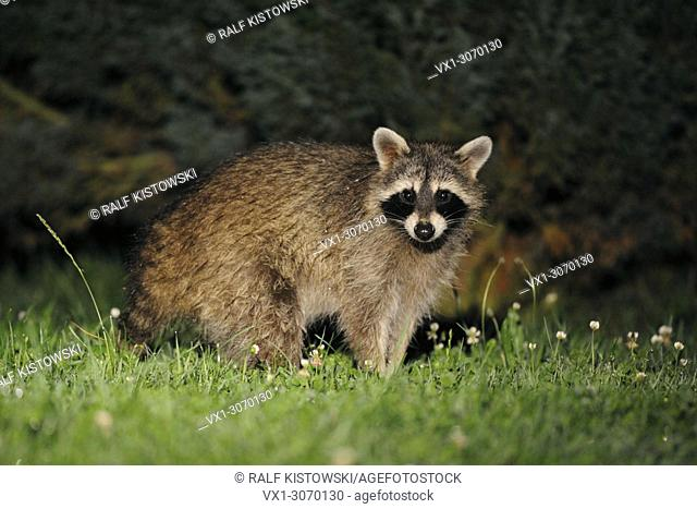 Common Raccoon ( Procyon lotor ) looks surprised, stands in front of some bushes, late in the night, wildlife, Germany